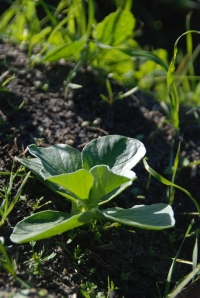 broad been seedling