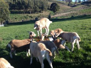 dairy goat shennanigans