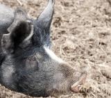 Little Quoin Farmhouse – Baked Ham recipe and SponsorProfile