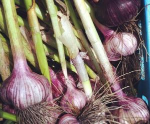 mbo garlic crop