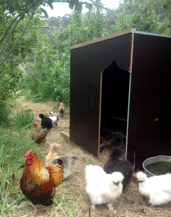 chooks in orchard.JPG